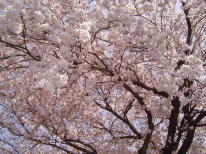 春・桜・お花見のフリー写真素材・無料画像011_original